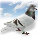 """""""Molenarde Vlieger"""", 11 prijzen zonder missen; Uit """"55"""" x """"Goeroe-duivin 2008"""" – halfbroer """"Lazarus"""" 43e PIPA-Ranking: Beste Souillac-duif (2012-2013)"""