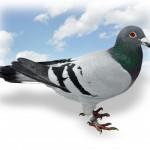 """""""Rain Man"""" 2e prijs Bourges van 257 oude in 2017 nationaal: 45e van 22.995 duiven In 2016: 255e nat. Chateauroux van 29.591 jaarl. Zoon van """"Schone Blauwen"""""""